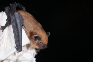 Bat Discovery - Pennsylvania 26-28 June 2020