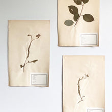 Load image into Gallery viewer, 1930s extra large French botanical samples