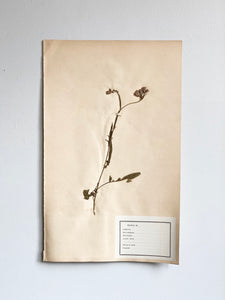 1930s extra large French botanical samples