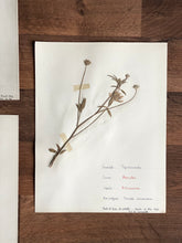 Load image into Gallery viewer, large vintage French herbarium samples