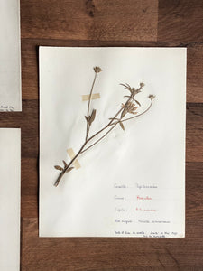 large vintage French herbarium samples