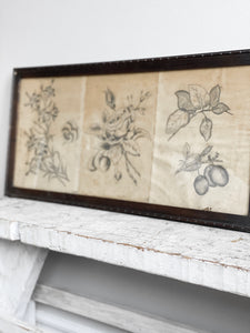 three antique botanical sketches