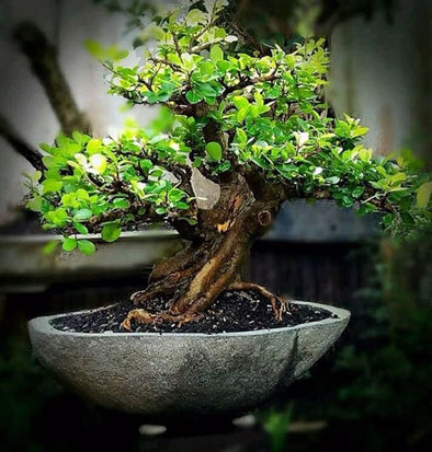 Buy Bonsai Pot 37cm x 26cm | StoneBase