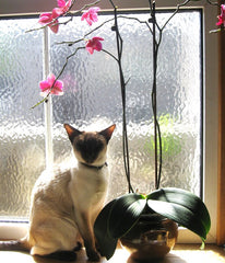 Siamese cat with orchid sitting at the window
