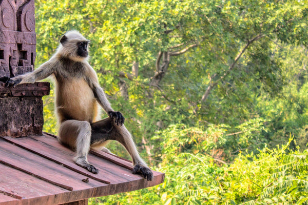A Langur sitting on a ledge looking in distance with a green foliage in the background