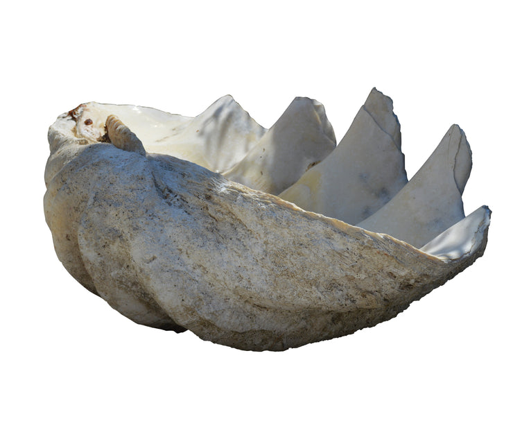 large clam shell