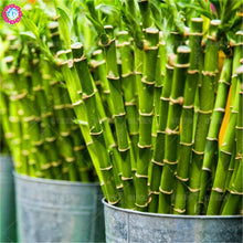Load image into Gallery viewer, Fresh Lucky Bamboo Moso Plant