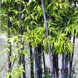 Colorful Bonsai Bamboo Moso Tree