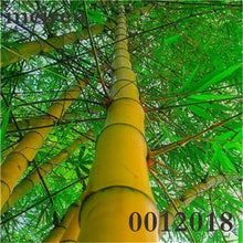 Load image into Gallery viewer, Colorful Bonsai Bamboo Moso Tree