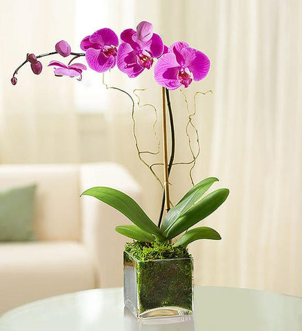 Elegant Orchid-Purple or white