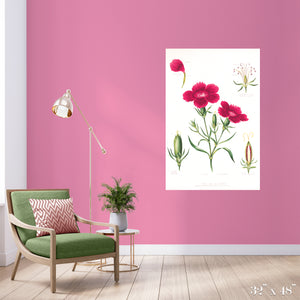 Dianthus Colossal Art Print