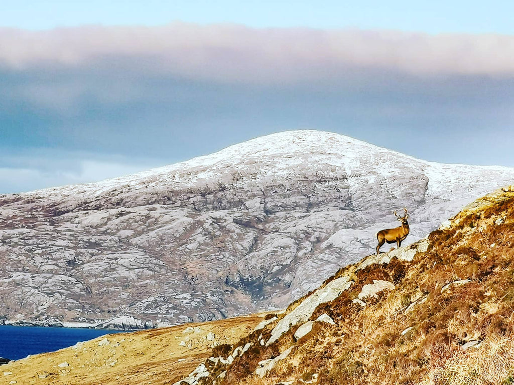 Red deer on the cold Harris hills.