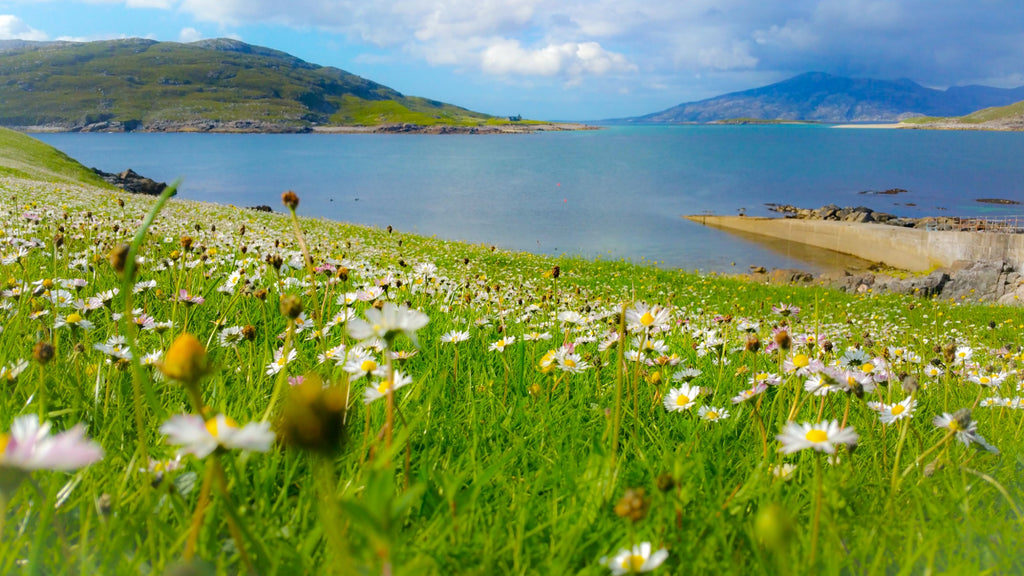 Daisies are one of the first machair flowers to bloom. Image © Peter Kwasniewski