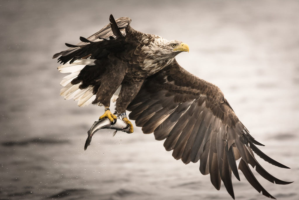 One of our growing population of Sea Eagles. Image © Lewis Mackenzie