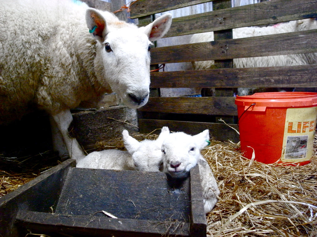 Cheviot twins, full of milk and ready to return to outside life.