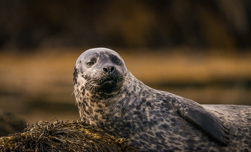 A common seal enjoying a few rays of rare sun. Image © Lewis Mackenzie