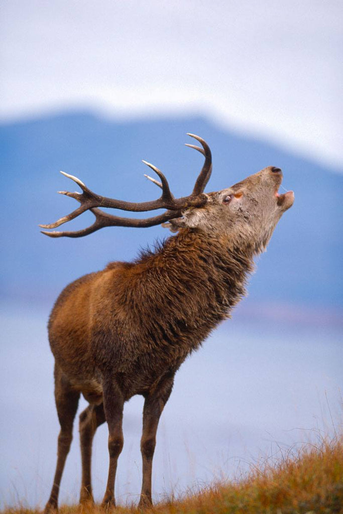 Soon the sound of stags will resound across the hills. Image © The North Harris Trust