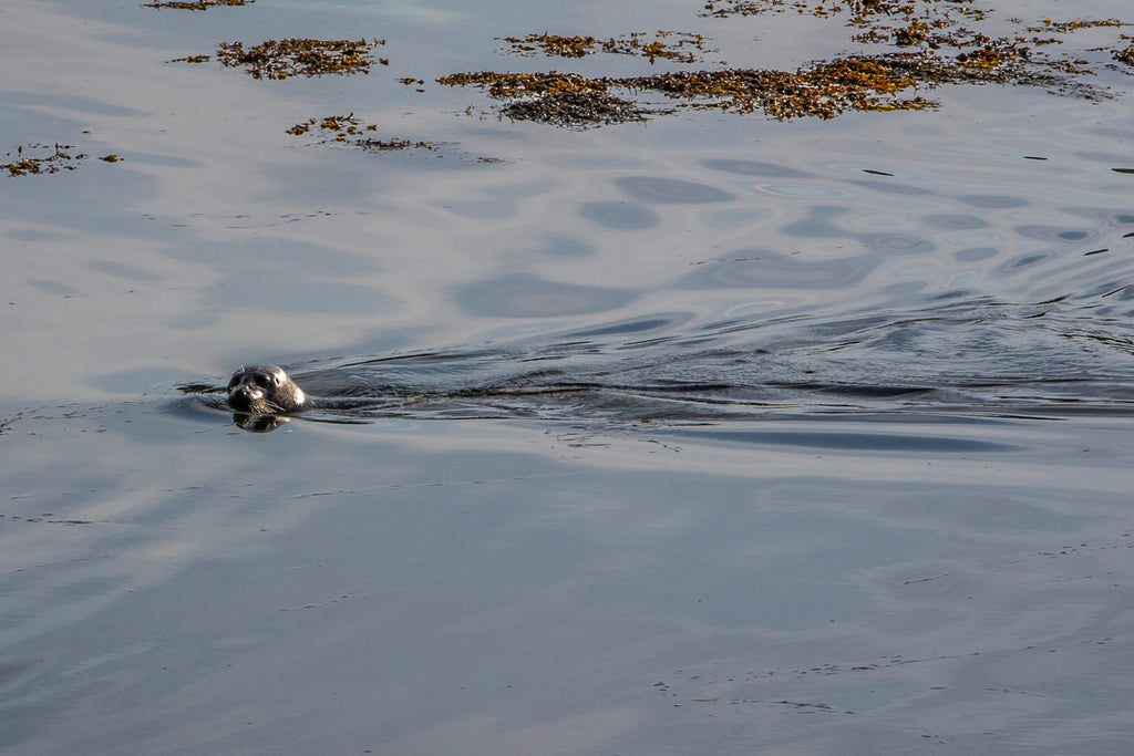 A young seal and a lazy late spring swim.
