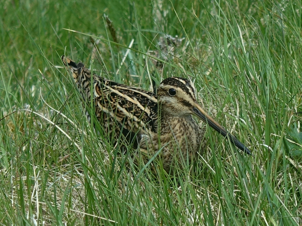 A common snipe laying low. Image © Glyn Evans via www.outerhebridesbirds.org.uk