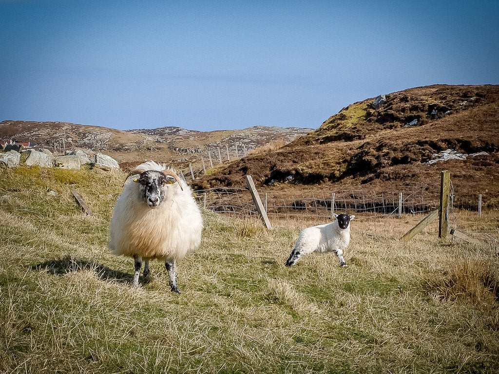 A stern stare from a protective mother, Isle of Scalpay, Harris.
