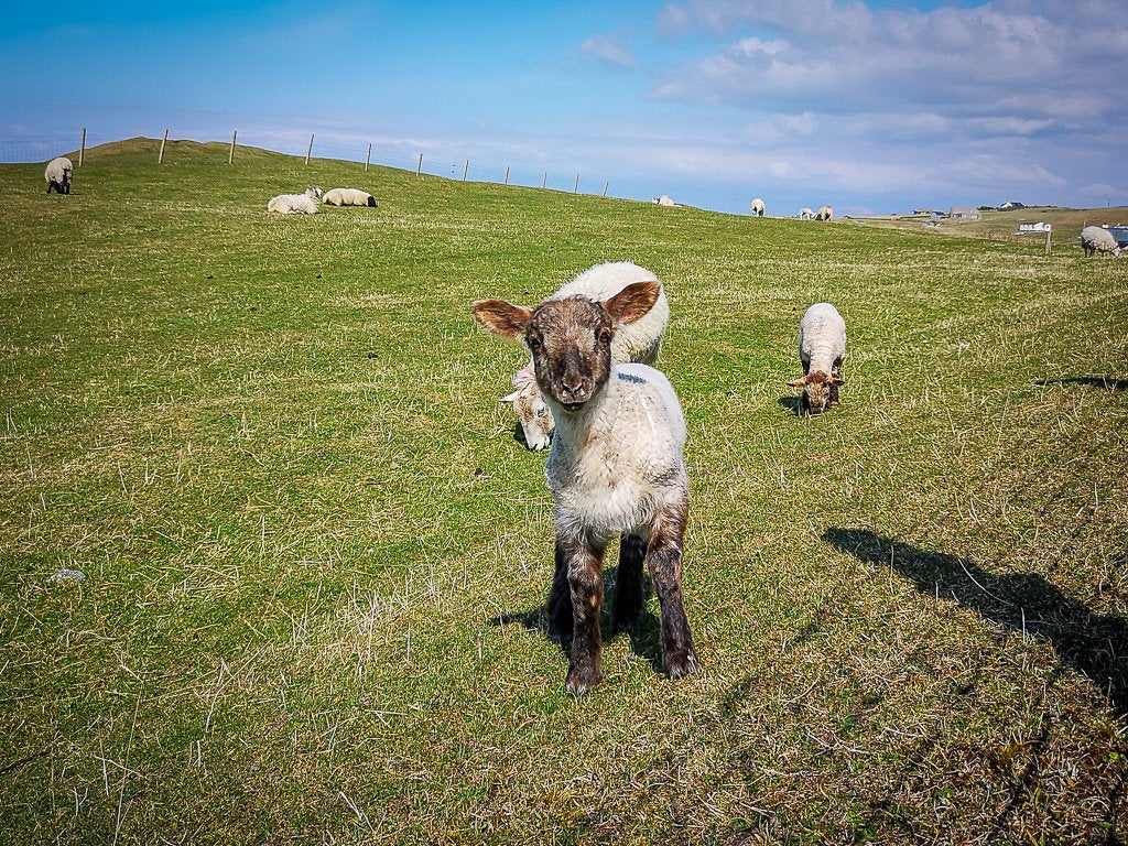 New lambs and life on the west coast of Harris.