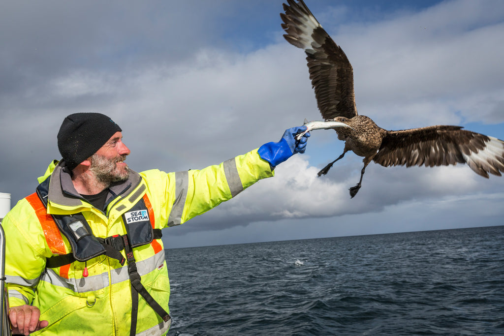 A fishy treat for a friendly Skua on the way back to shore.