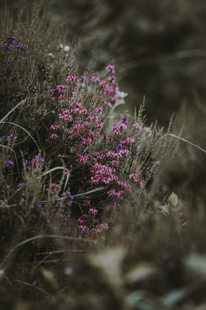 Purple patches of blooming heather. Image © Annie Spratt