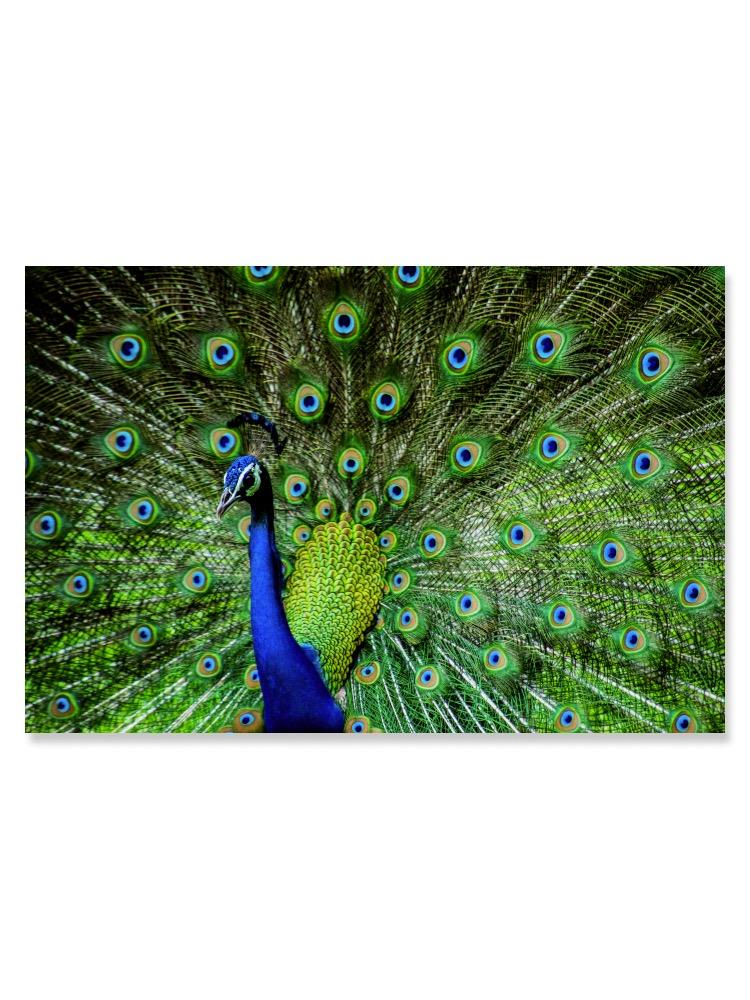 Indian Male Peacock Poster -Image by Shutterstock
