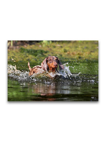 Dachshund Dog Playing In Water Poster -Image by Shutterstock