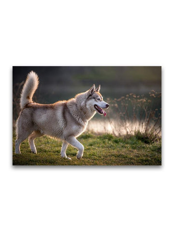 Beautiful Husky Walking On Grass Poster -Image by Shutterstock
