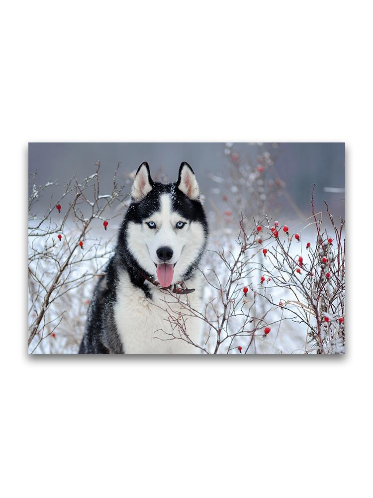 Husky Dog In Winter Bushes  Poster -Image by Shutterstock