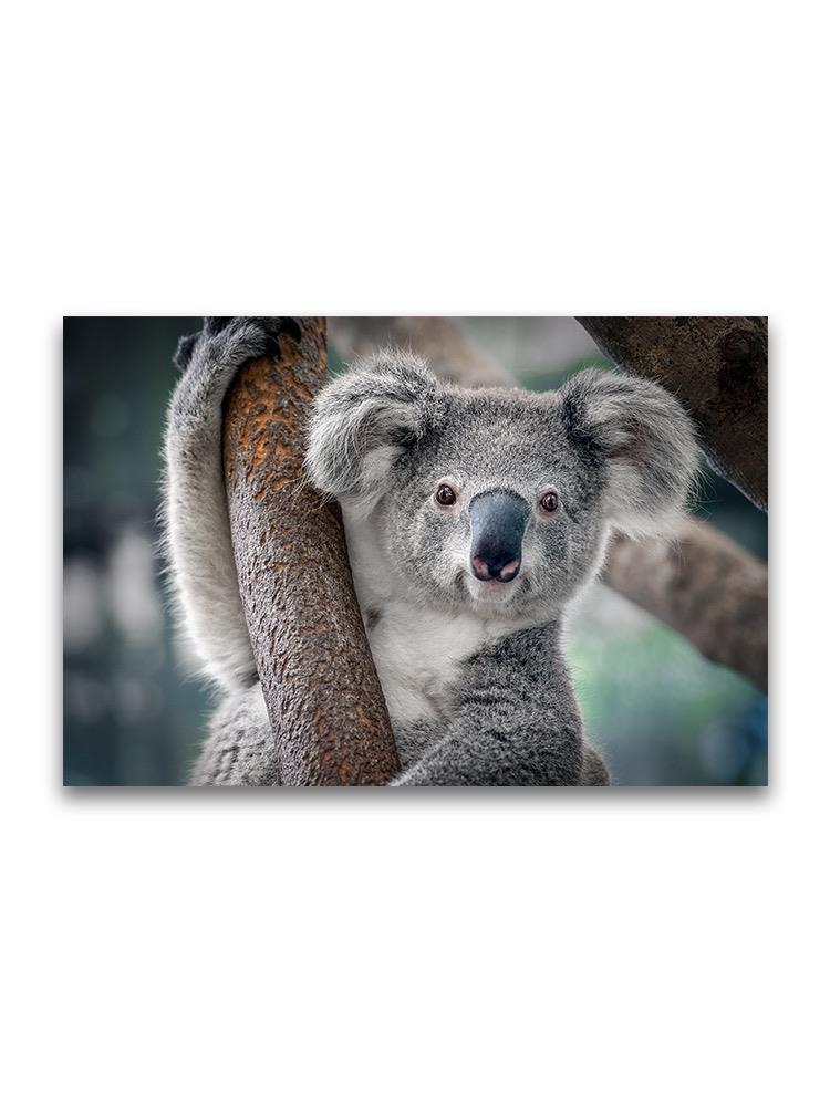 Cute Close Up Portrait Of Koala Poster -Image by Shutterstock