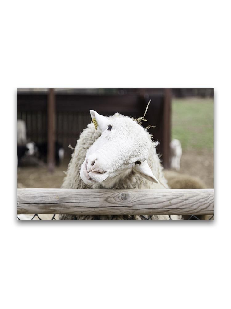 Curious White Sheep  Poster -Image by Shutterstock