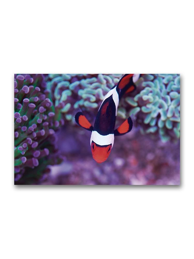 Overhead View Of Clown Fish  Poster -Image by Shutterstock