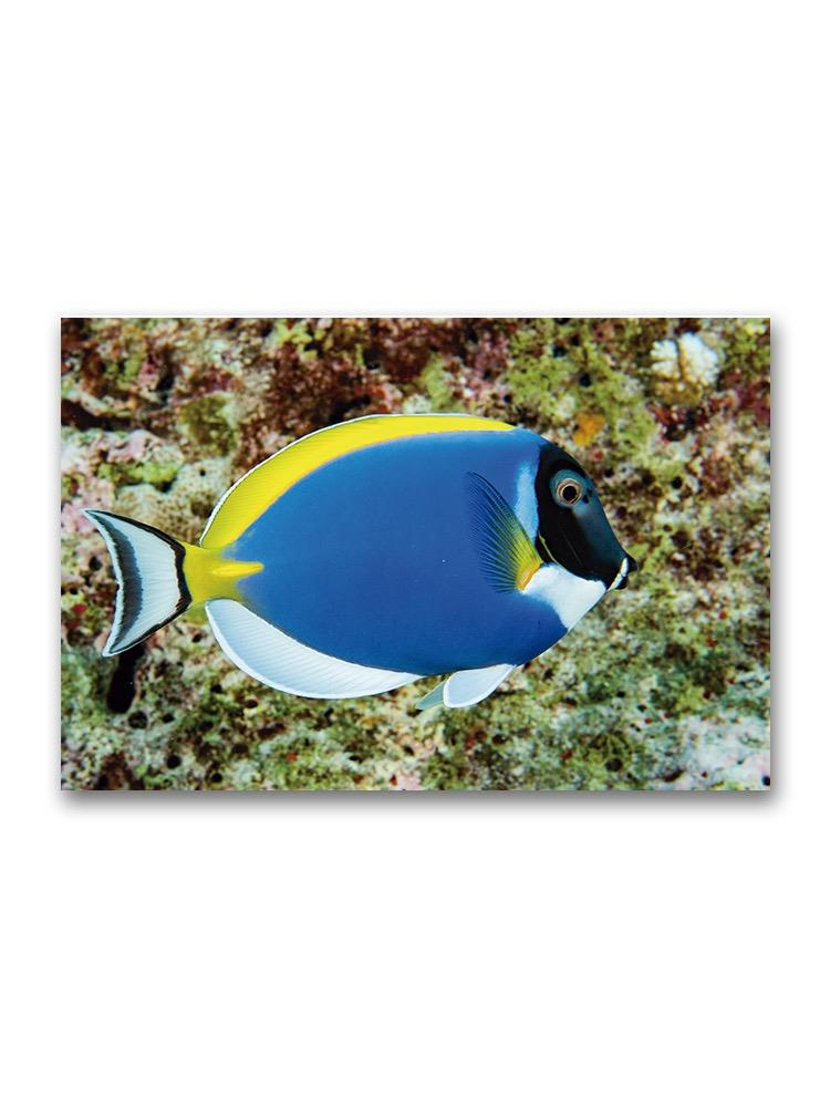 Incredible Blue Surgeon Fish  Poster -Image by Shutterstock