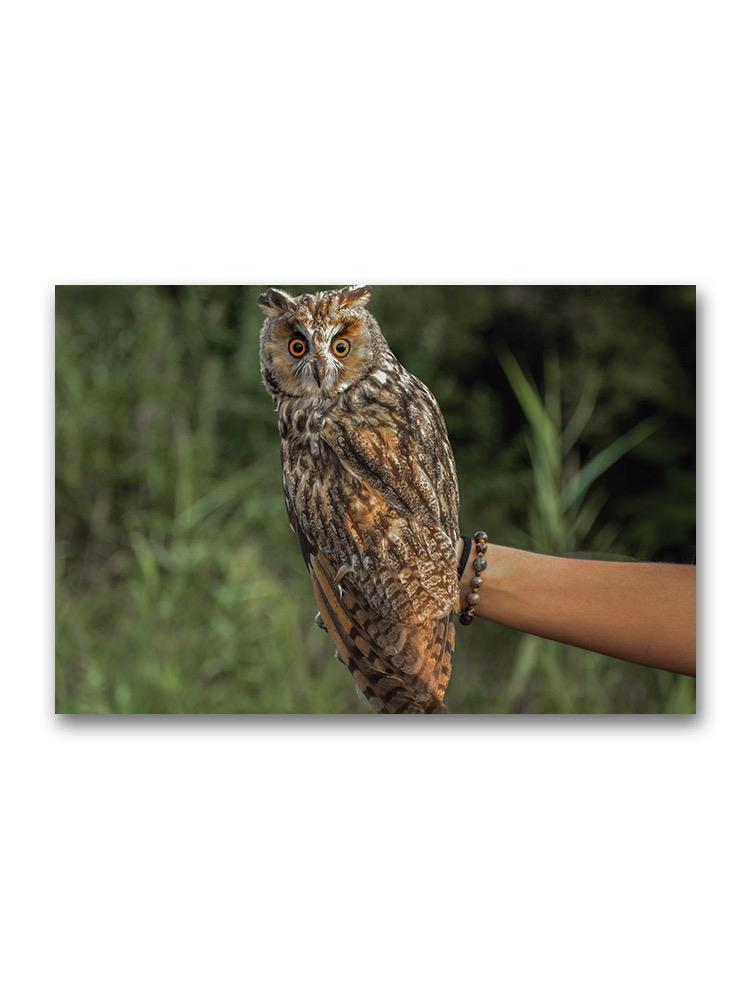 A Beautiful Long-eared Owl Poster -Image by Shutterstock