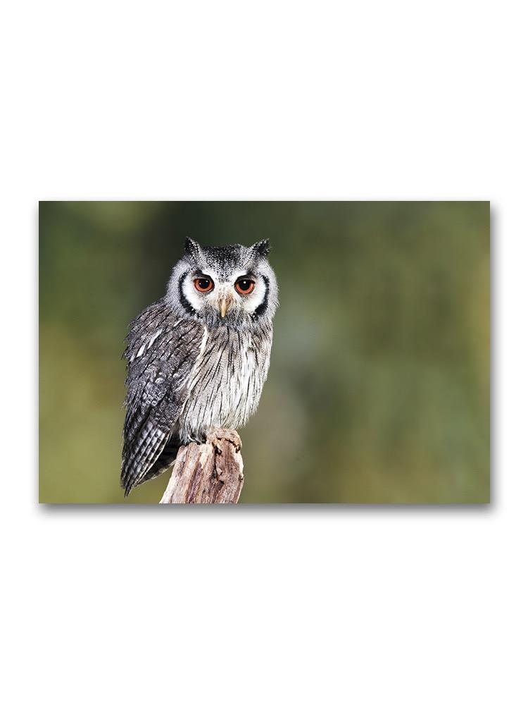 Southern White Faced Owl Poster -Image by Shutterstock