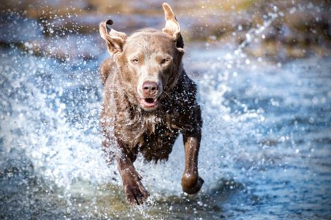 Older dog taking YuMOVE Hip & Joint supplement happily running through water