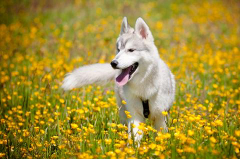 Older dog playing in a field with yellow flowers