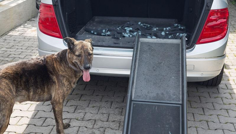 Dog and dog ramp to get into car