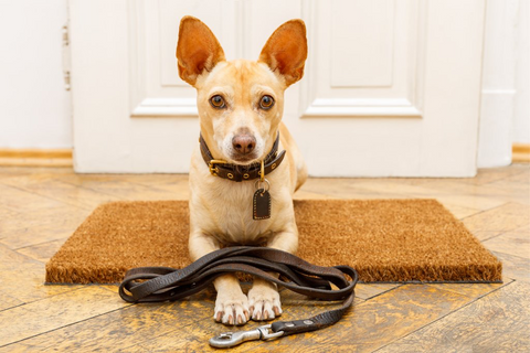 Anxious looking dog sits by door with lead