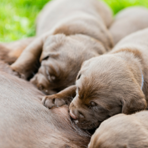 Chocolate Lab puppies feeding