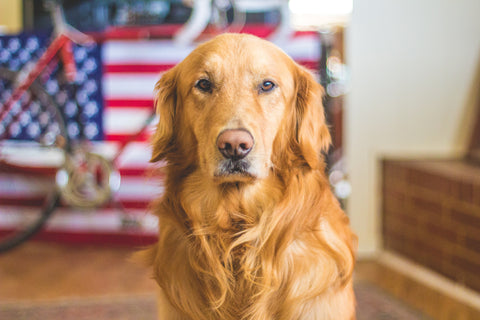 Golden retriever safe indoors with American flag
