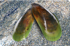 Green Lipped Mussel shells