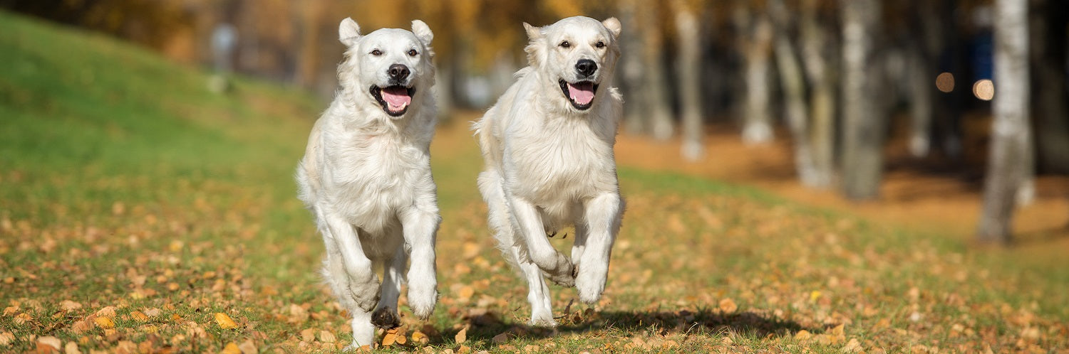 Two white dogs running in a field