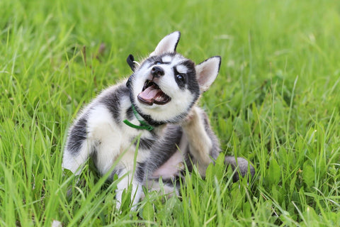 Huskie puppy on grass itching his ear