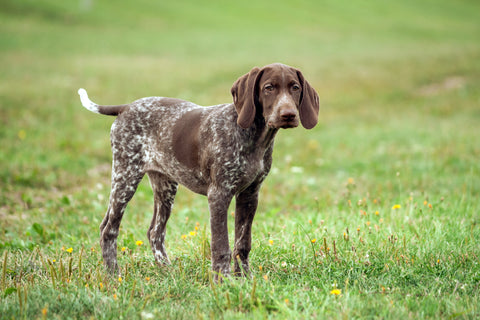Brown dog standing on grass
