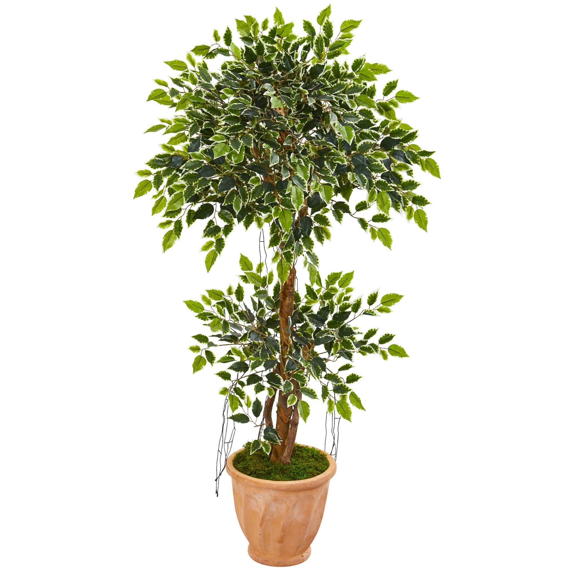 "53"" Variegated Ficus Artificial Tree in Terra Cotta Planter"