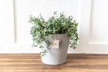 Load image into Gallery viewer, Pilea Aquamarine