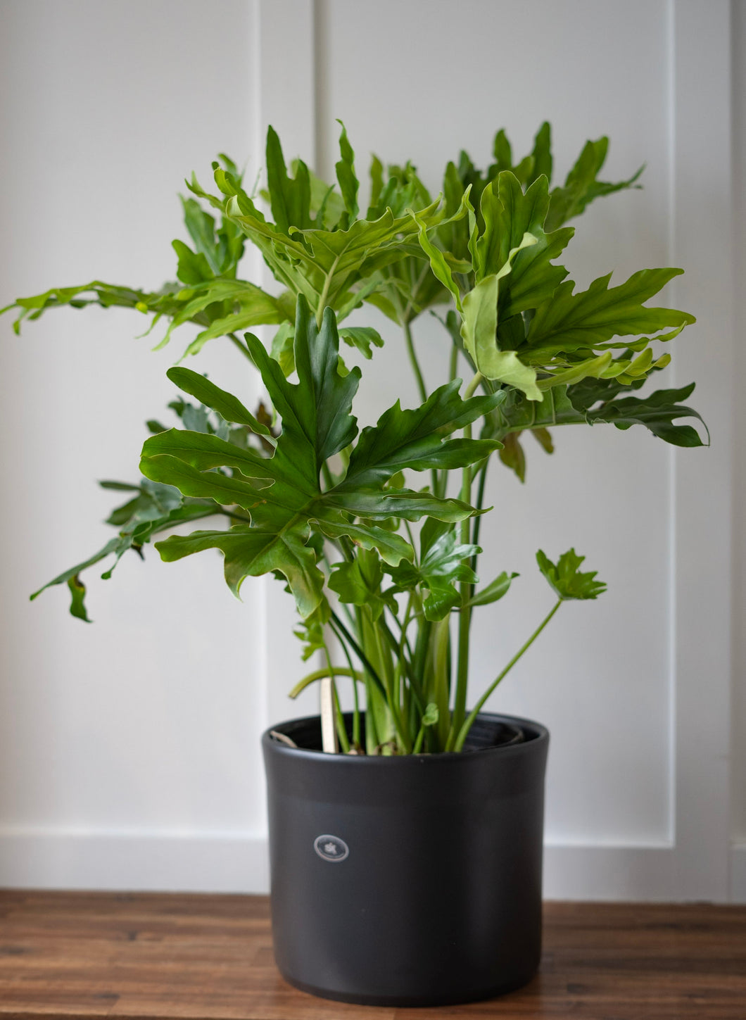 Philodendron Selloum Hope - 10